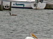 White pelican in Sturgeon Bay, WI