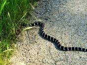 King Snake crising in the grass