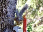 squirrel balancing