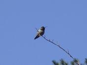 Red Headed Hummingbird