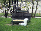 Albino Squirrel