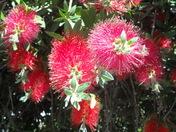 red bottle brush flowers in the sunlight