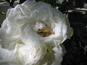 Frog on Maria Shriver rose.JPG