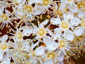 Photinia Blossoms