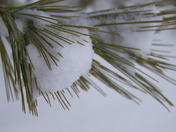 New snow on white pine