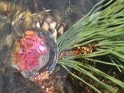 Sunken Pine Cone in Crystal Creek4