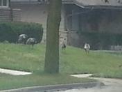 More tom turkeys