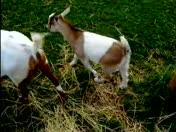 Fainting goats 2