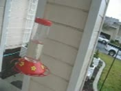 Vacaville CA: Hummingbirds Survive Winter Storm in