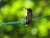 Hummingbird and ant