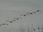 Canada Geese Wingin' It