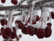 Crabapples, frosty & snowy