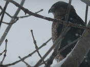 Falcon?  Hawk?
