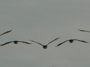 Canada Geese in formation