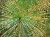 Pine Needles Turning Color