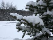 snowy evergreen