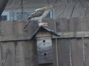 Falcon???