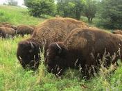 bison at safari