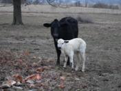 new calf named Holli born on Feb. 21