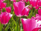 Tulip Festival 037.JPG