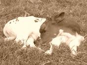 calf at gentry wildlife park