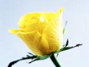 yellow rose3.jpg