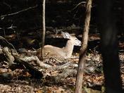 A beautiful little deer