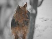 Our pet Yokie - Kujo