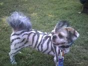 """Fonzi the Rockin Zebra"""