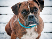 Ginger the Boxer
