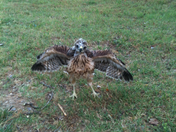 baby red-tailed hawk in Wilson Park