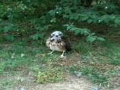 red tailed hawk baby