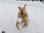 Shiloh catching a Snow Ball