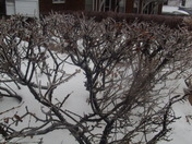 The ice forming on the bushes