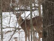 More deer in the snow