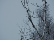 Eagle with tree