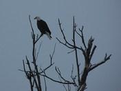 Closeup of Eagle