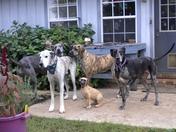 adopted Great Dane Dog