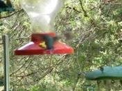 Hummingbirds sharing