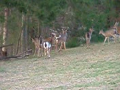 piebald deer in herd