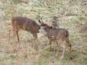 deer rutting....