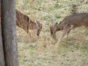 deer rutting....2