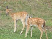 Twin fawns grazing