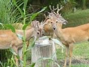 Bucks sharing food