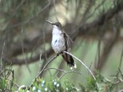 Pregnant Hummingbird sitting