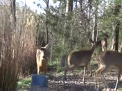 extra Deer kick