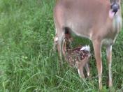 Memo feeding her Fawn