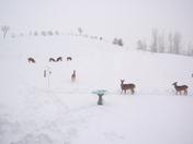 Deer in back yard...CB, IA