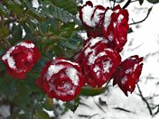 Red Mini Roses in the Snow