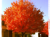 beautiful Fall leaves in Papillion